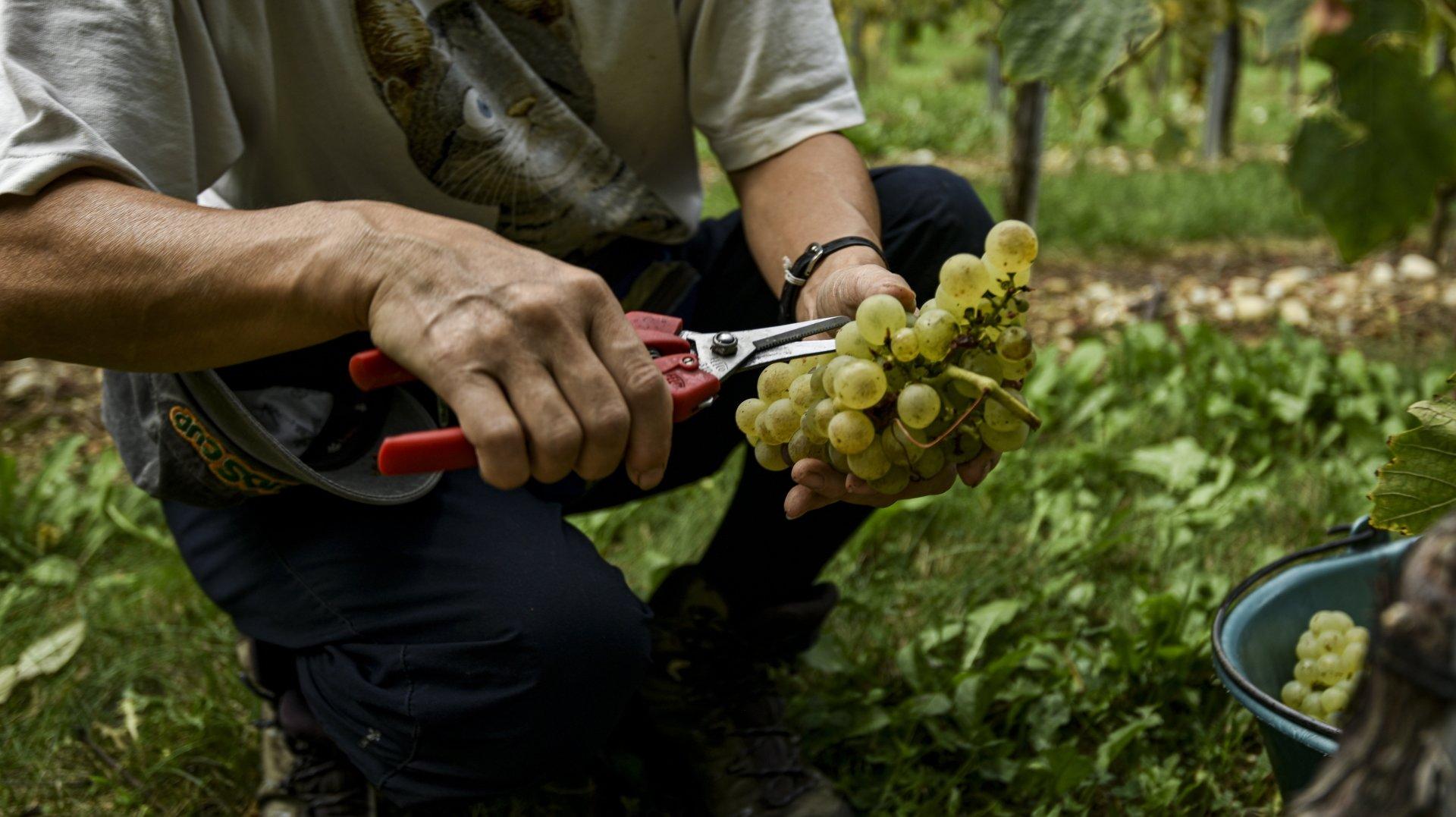 2021, année catastrophique pour les vignerons neuchâtelois?