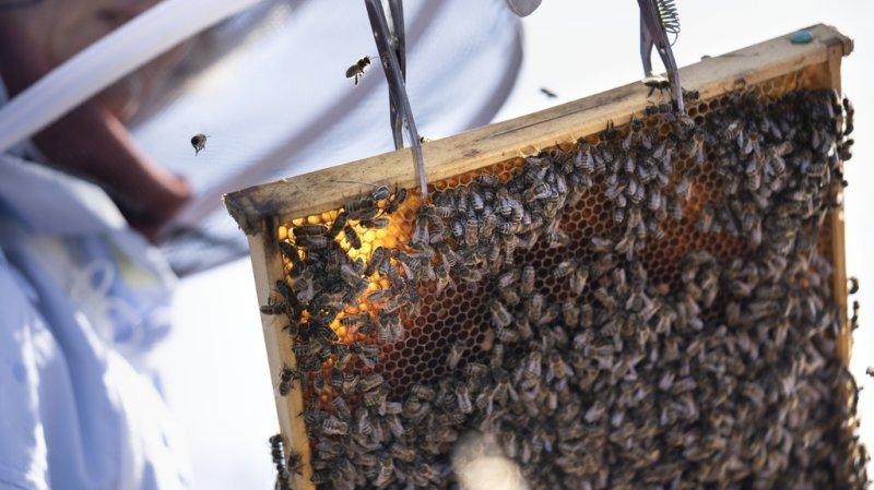 La récolte de miel de 2021 est la plus faible depuis 15 ans en Suisse