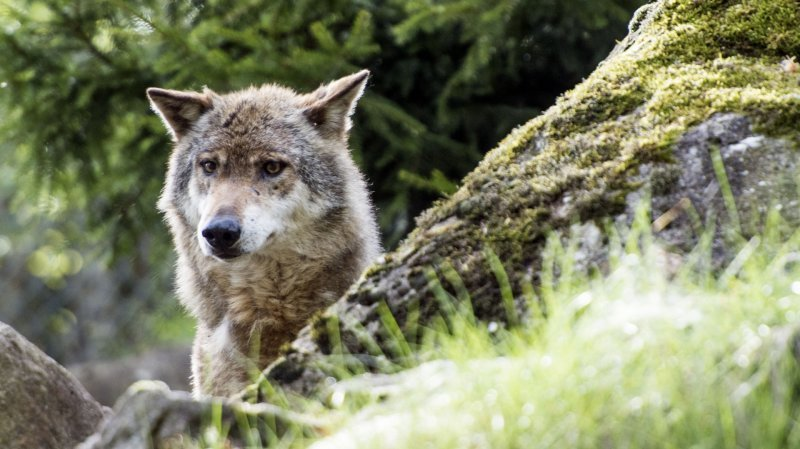 Le loup est de retour dans le Jura