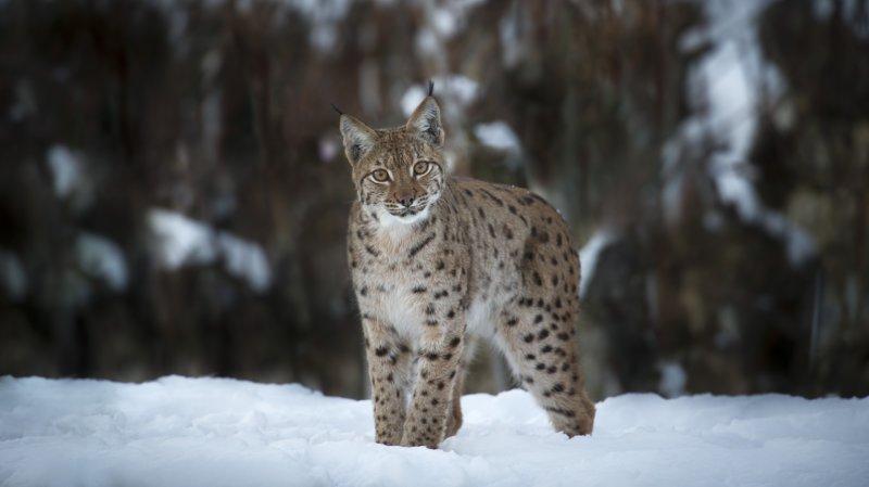 «Lynx» s'invite aussi au Muséum d'histoire naturelle de Neuchâtel
