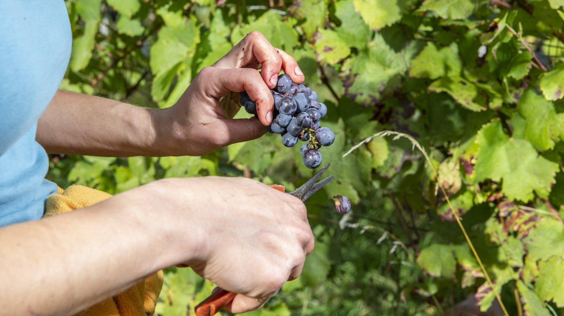 Les hauts et les bas des vins neuchâtelois