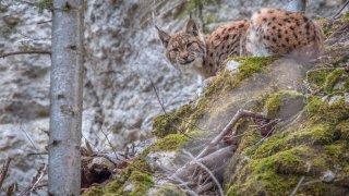 Le lynx, «ce grand prédateur absolument sublime»