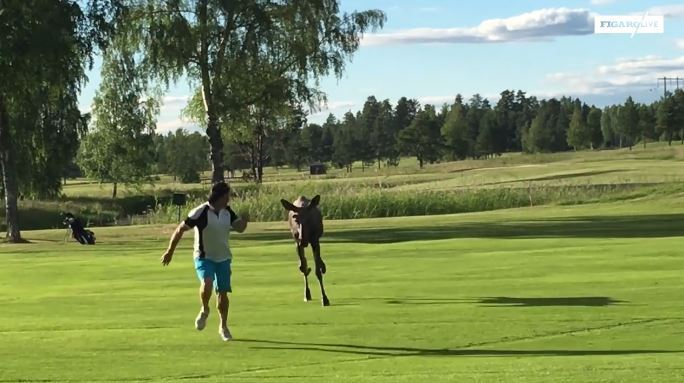 Suède: quand un golfeur se fait poursuivre par un élan