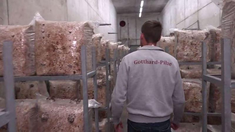 Des bunkers de l'armée suisse revivent grâce aux champignons