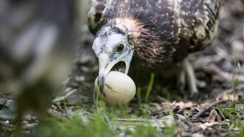 Un couple de percnopètres, les plus petits vautours européens, fait son entrée au zoo de Zurich