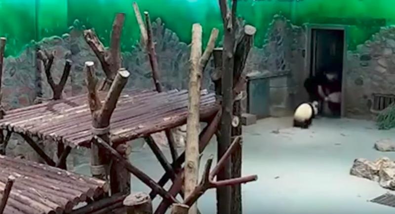 Chine: la méthode de ces soigneurs de petits pandas provoque la colère des internautes