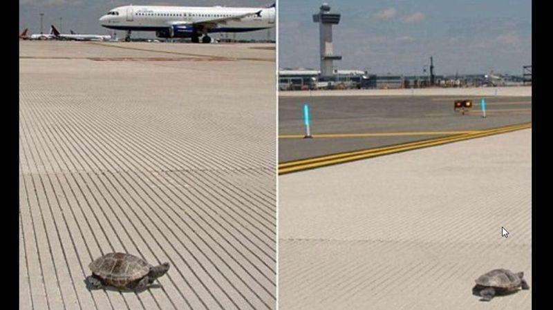 New York: des tortues bloquent l'aéroport JFK