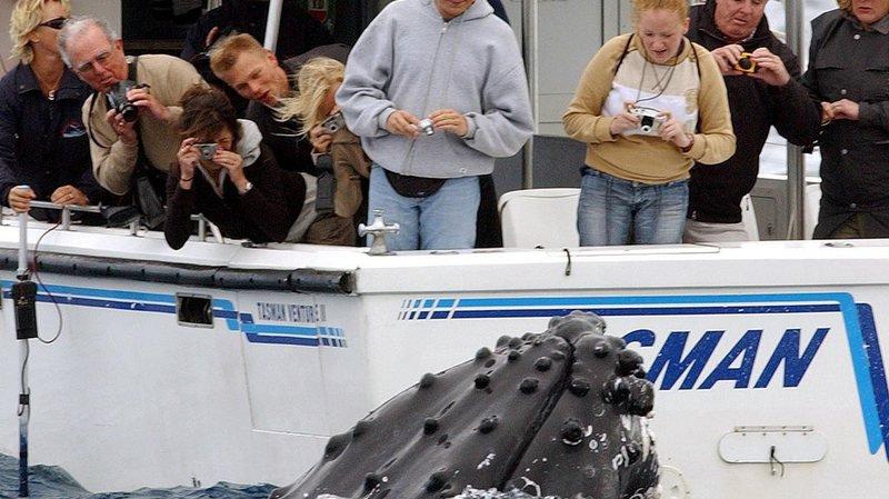 Australie: une baleine à bosse entre en collision avec un bateau et fait plusieurs blessés