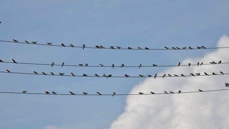 La Tène: comptage des hirondelles et distribution de nids