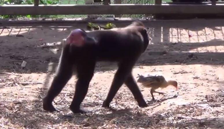 Animaux: une jeune macaque en mal de maternité adopte un poulet