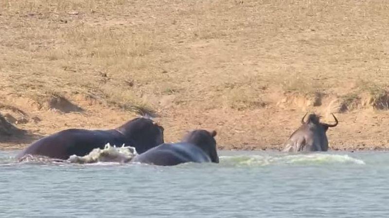 Afrique du Sud: deux hippopotames sauvent un gnou de la mâchoire d'un crocodile