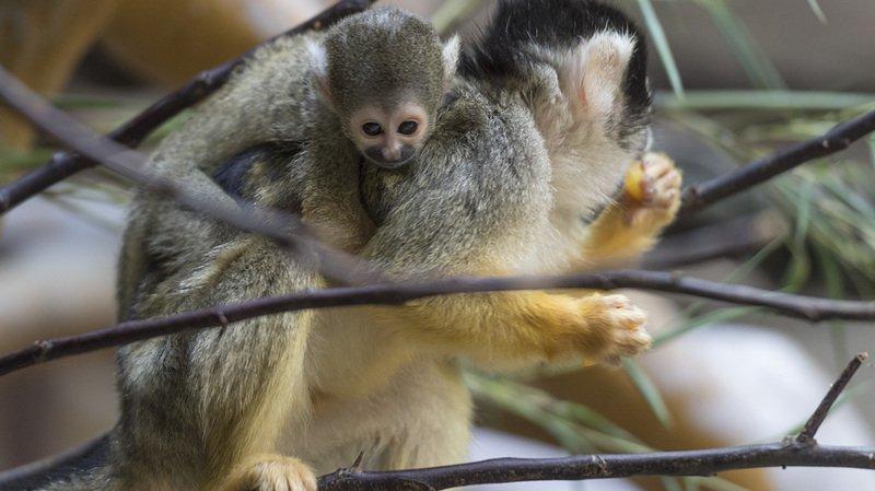 Animaux: cinq petits singes-écureuils ont vu le jour au zoo de Bâle