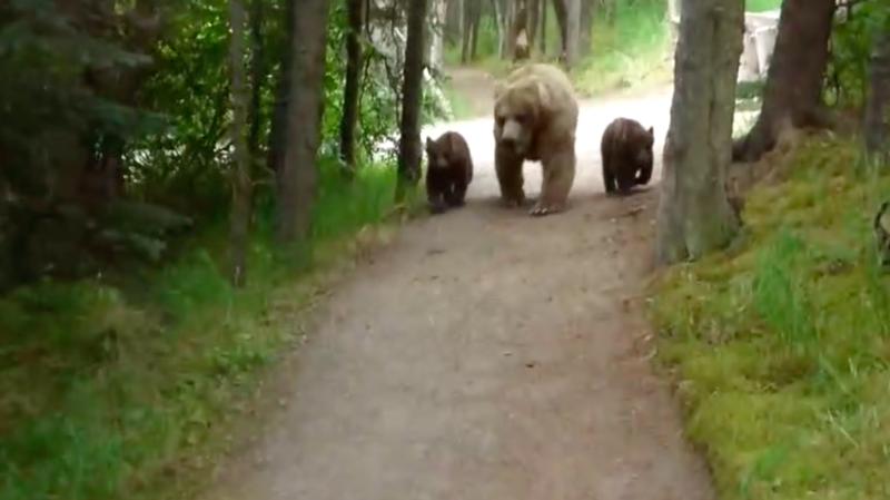 Alaska: un randonneur tombe nez à nez avec une maman grizzly et ses deux petits