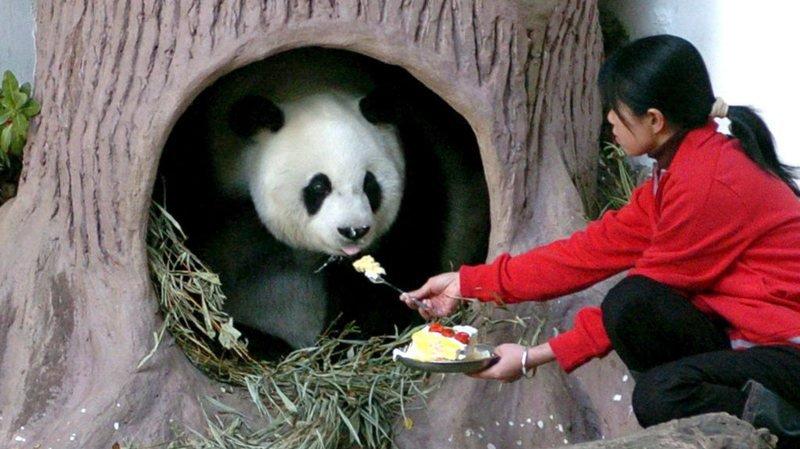 Chine: le plus vieux panda du monde est mort à 37 ans