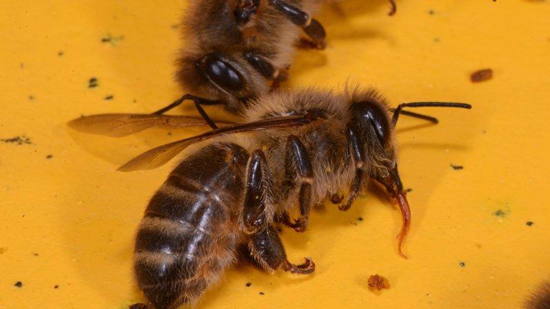 L'UE décide d'interdire trois néonicotinoïdes dangereux pour les abeilles
