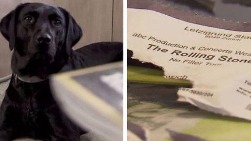 Saint-Gall: leur chienne Mia détruit leurs six billets pour le concert des Rolling Stones