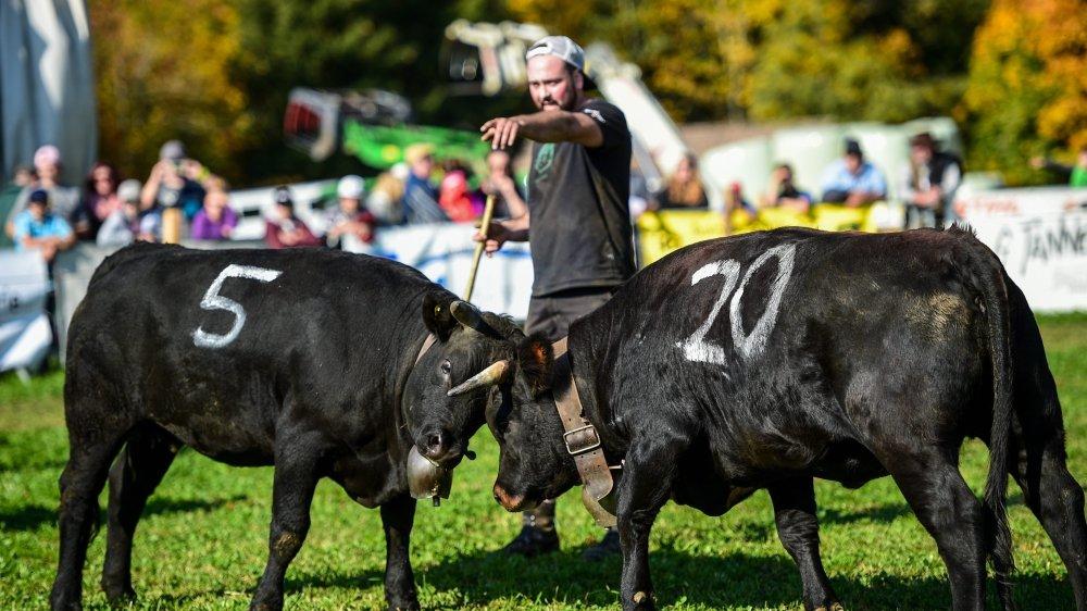 A l'image de ces deux vaches d'Hérens, elles étaient une septantaine à combattre samedi à Rochefort.