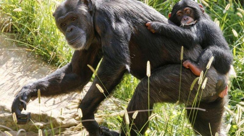 Les chimpanzés du zoo de Bâle sous la loupe