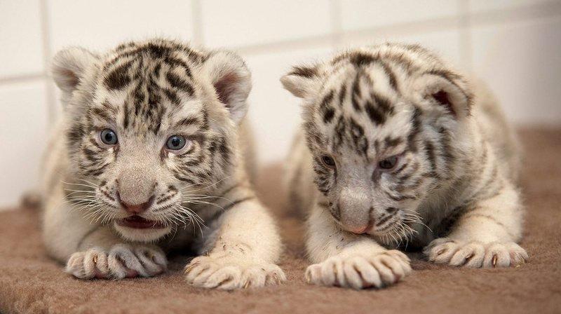 Inde: le gardien d'un parc tué par deux petits tigres blancs