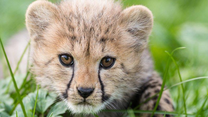 Zoo de Bâle: première apparition en public de deux bébés guépards