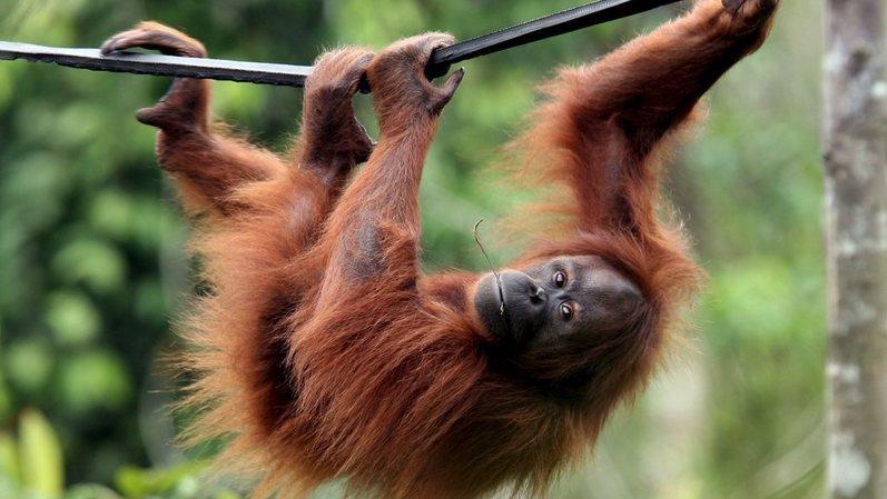 Nouvelle espèce d'orang-outan identifiée sur l'île de Sumatra