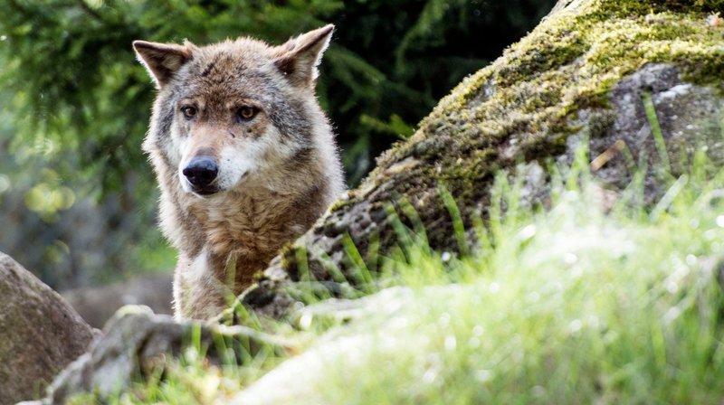 Avec plus de 100 meutes et 600 loups, les effectifs du grand prédateur dans l'espace alpin ont rapidement augmenté, peut-on lire dans la résolution signée vendredi.