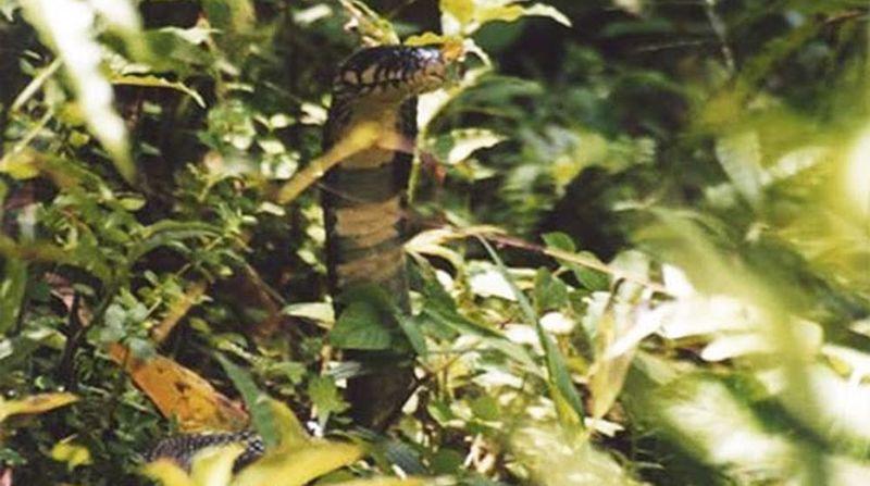 On pensait au début que les serpents présents sur l'île avaient été introduits par les colons portugais dans le but de limiter la prolifération de rats.