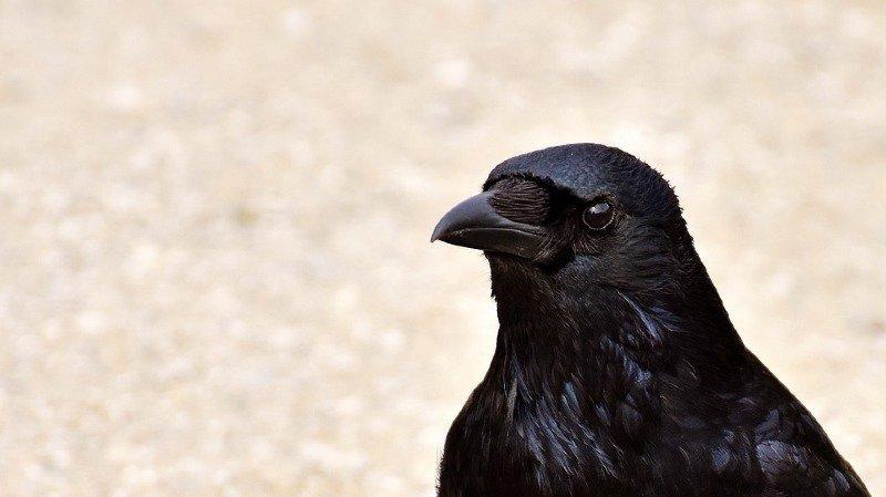 Pays-Bas: une entreprise veut entraîner des corbeaux à ramasser les mégots de cigarette