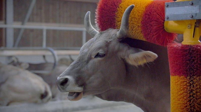 Bio Suisse milite pour des massages qui rendent les vaches heureuses