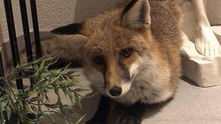 Des policiers libèrent un bébé renard à Peseux