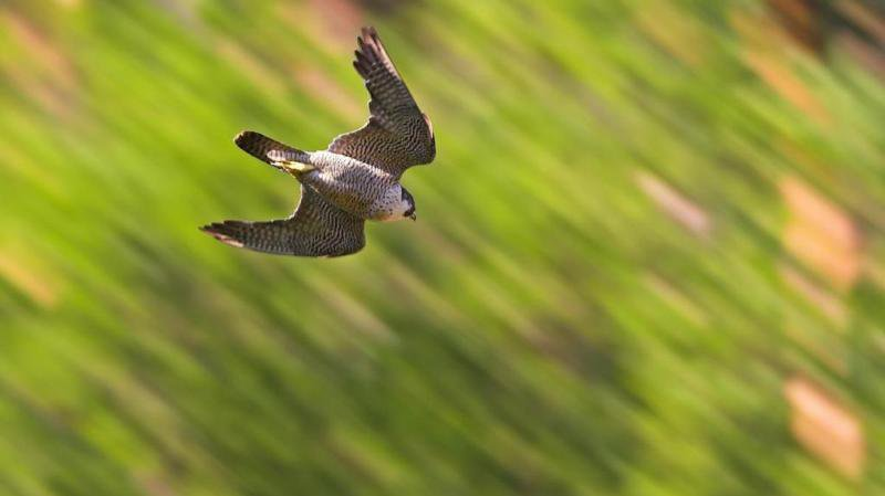Zoologie: le faucon pèlerin est une source d'inspiration pour contrer les drones illégaux
