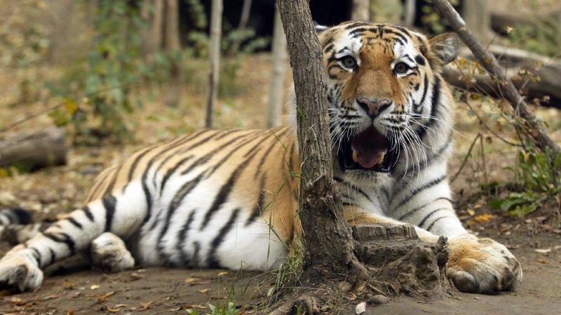 France: un tigre s'échappe d'un cirque à Paris, son propriétaire l'abat