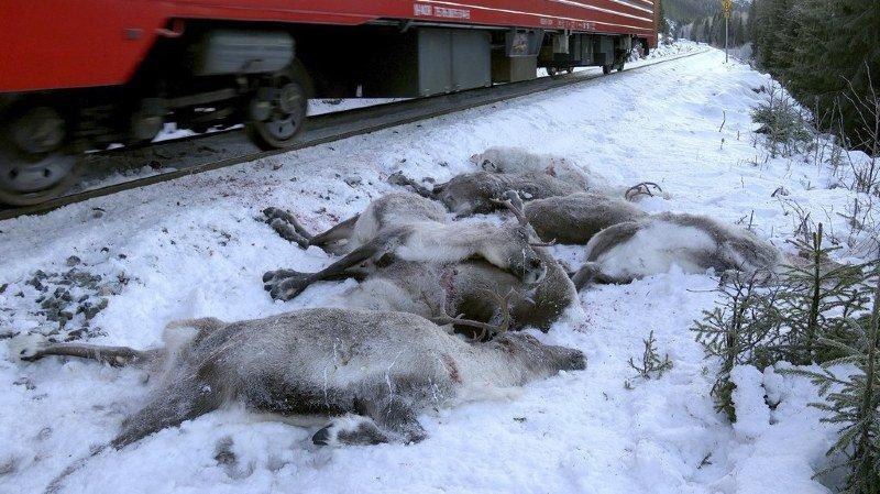 L'épisode le plus sanglant s'est produit samedi quand un train de marchandises a tué d'un coup 65 cervidés qui se trouvaient sur une voie ferrée.
