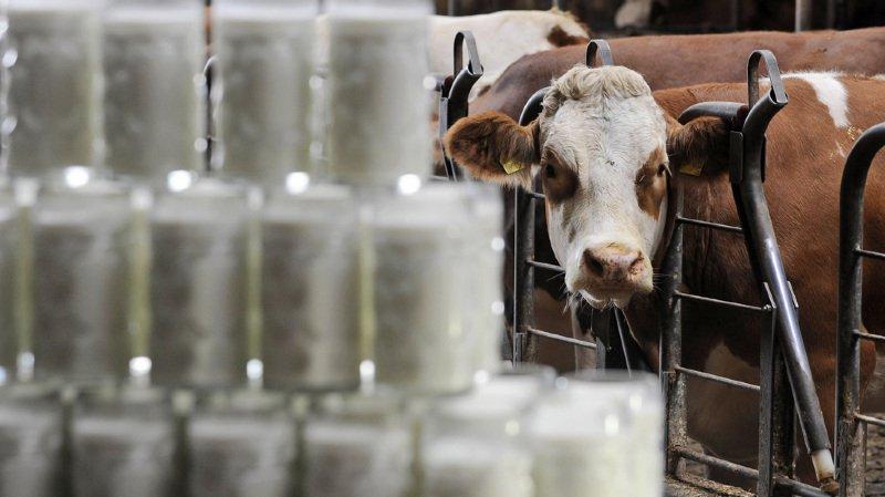 Agriculture:  il y a rarement eu aussi peu de vaches laitières en Suisse