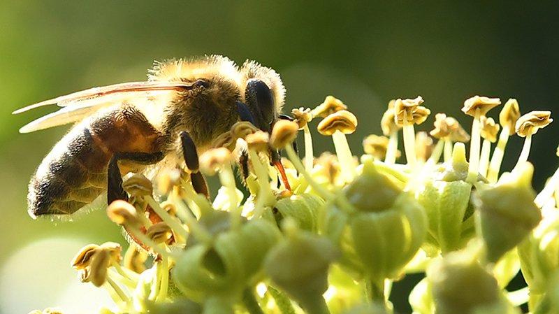 Déclin des abeilles : quelles conséquences ?