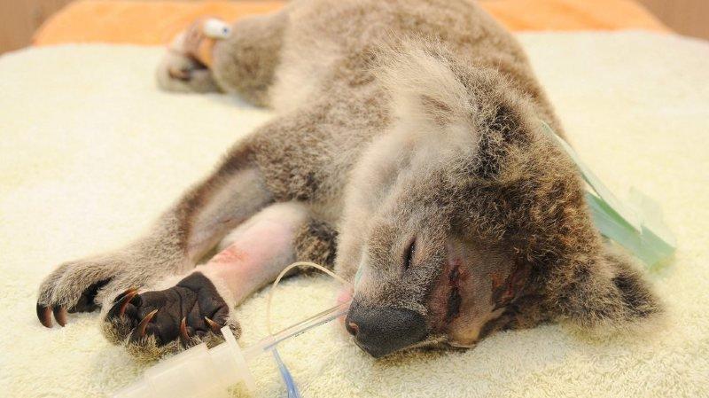 Mutilations animales: un koala retrouvé mort, les deux oreilles coupées