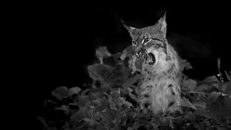 L'une des images de lynx prises par Neil Villard.