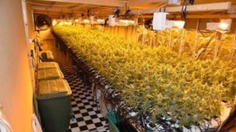 Schwytz: plus de 6000 plants de marijuana saisis à Reichenburg