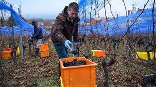 Vendanges tardives dans le vignoble neuchâtelois: objectif vins doux!