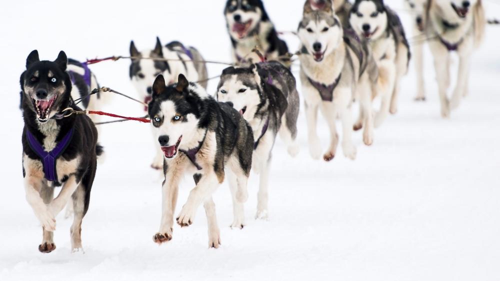 En tout 400 canidés, parmi lesquels 70% de huskys et 20% d'autres races nordiques, sont attendus à la course de chiens de traîneau.