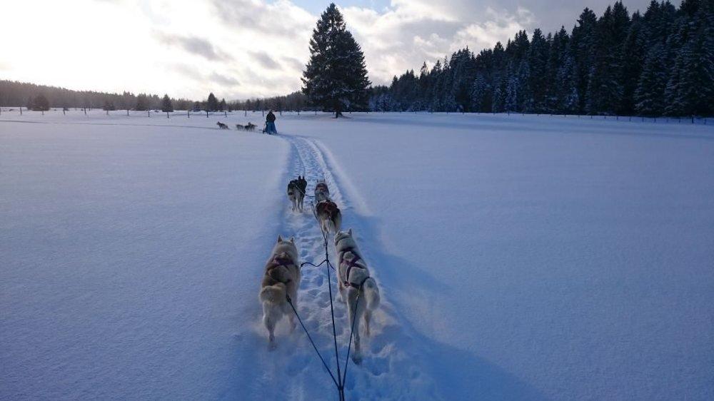 Guider un attelage de chiens de traîneaux, une expérience à vivre dans la région.