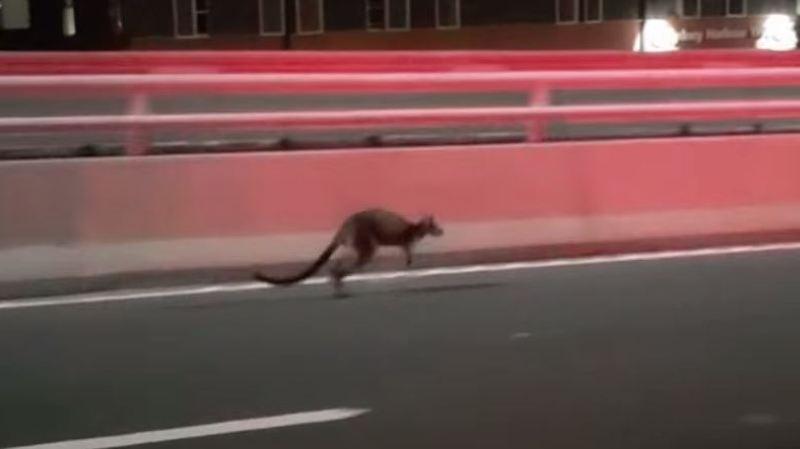 Le wallaby n'a pas voulu coopérer et a pris la fuite!