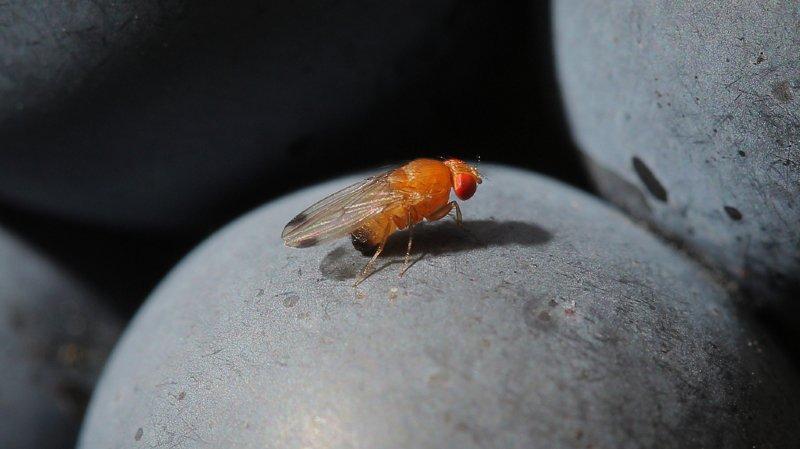 La drosophile suzukii a créé de nombreux dégâts aux cultures fruitières, en particulier la vigne, ces dernières années.