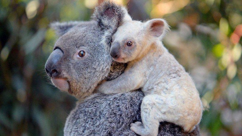 """Le président de l'association Koala Rescue Queensland espère """"que ces moins que rien seront arrêtés et punis""""."""