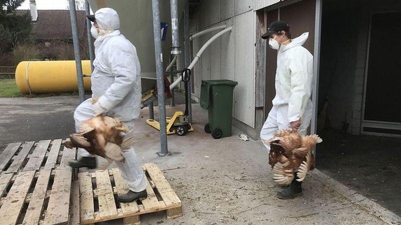 Infection virale: 8000 poules tuées en Thurgovie à cause de l'ILT