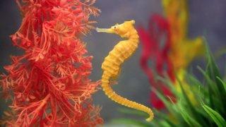 Le pangolin, le koala, l'hippocampe ou les insectes suisses... la liste du WWF des espèces menacées s'allonge