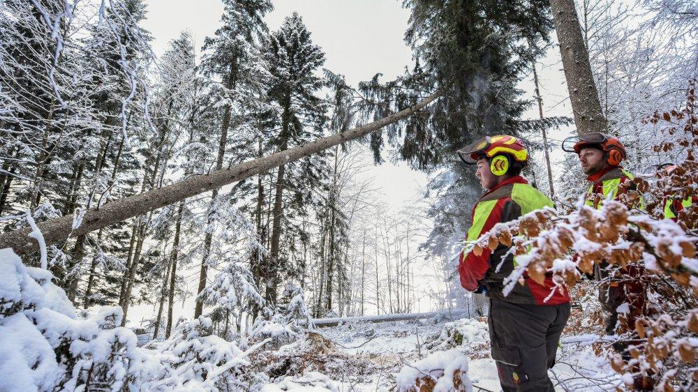 """Un arbre est """"encroué"""", sa cime est bloquée dans un autre arbre. Voilà un cas typique des abattages délicats que doivent effectuer les forestiers ces jours."""