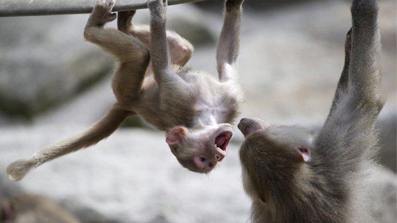 France: le zoo de Paris a récupéré sa cinquantaine de babouins évadés
