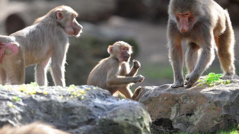 Paris: 52 babouins s'échappent de leur enclos, le zoo évacué