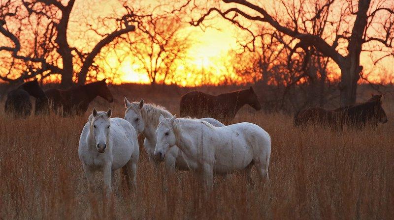 Ceux que l'on croyait être les derniers chevaux à l'état sauvage de notre planète étaient en réalité des animaux domestiqués ayant échappé à leurs propriétaires.